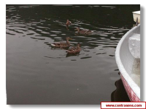 Ratele salbatice de pe Lacul Rosu
